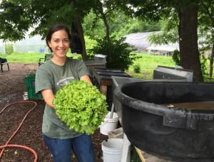 Lettuce on harvest day